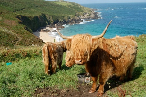 Highland Cattle in Cornwall